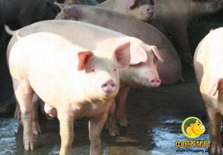 无公害猪种的选择方法与繁殖技术