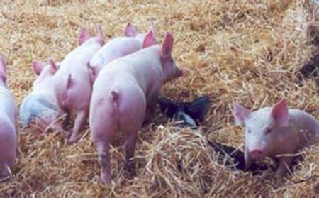仔猪早期断奶的饲养管理要点,仔猪断奶后的管理技术