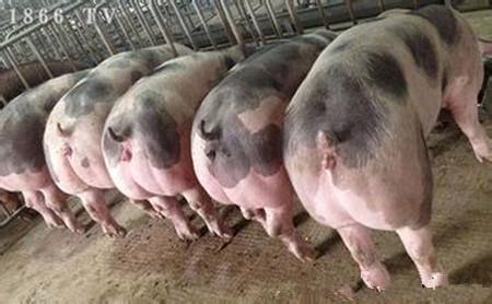 种公猪及配种管理,公猪的饲养管理及其配种技术