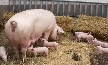 母猪顺产的接产