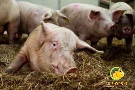 妊娠母猪和干奶母猪的猪舍系统