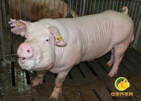 公猪管理的六要点