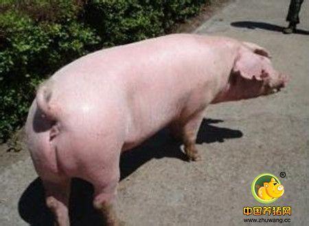 需谨防哪些因素高温季节母猪受胎率低
