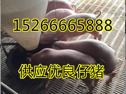 长白杜洛克仔猪批发价格15266665888
