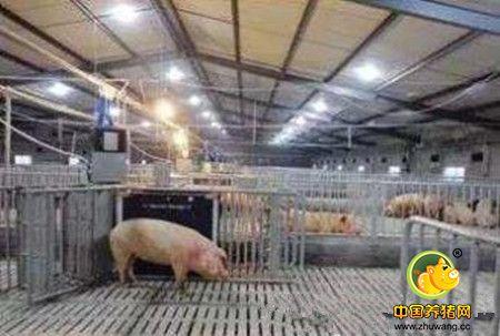 Lily养猪场:北美成功的跨国猪场