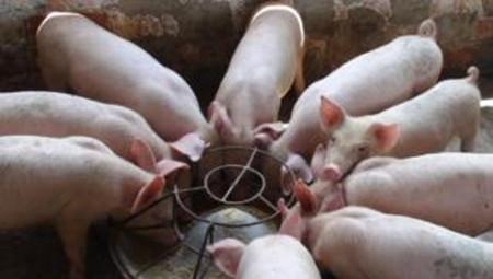 养猪就是养肠道——解决肠道问题,就用它!