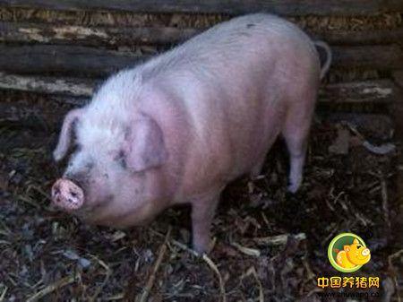 谈谈猪副嗜血杆菌病的诊断与治疗