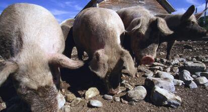猪价下调不可怕,年前还有一次需求助力!