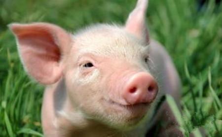 环保之外 2017还有一项政策养猪人必须重视