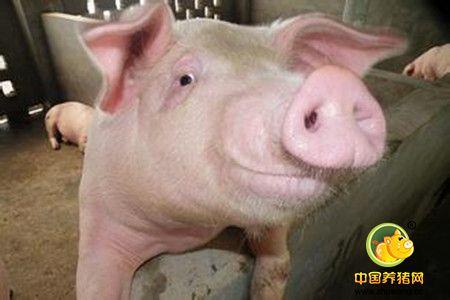 化学阉割(去势)猪的有效技术方法