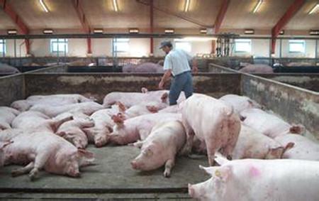 猪肠道的免疫功能及其调整