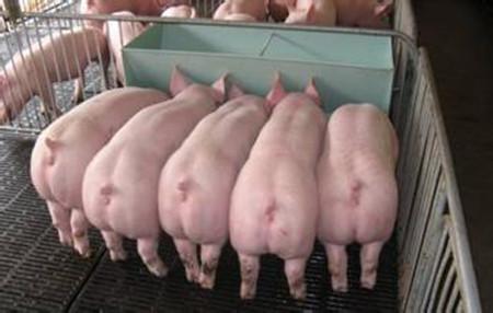 每胎至少提高10个点产仔率的母猪授精技巧