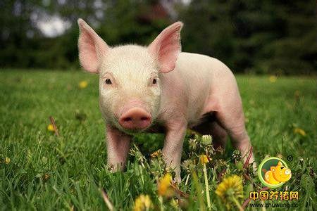养猪的高效窍门,不妨一试!