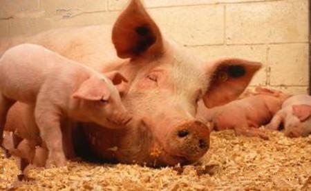 猪住肉孢子虫病的治疗