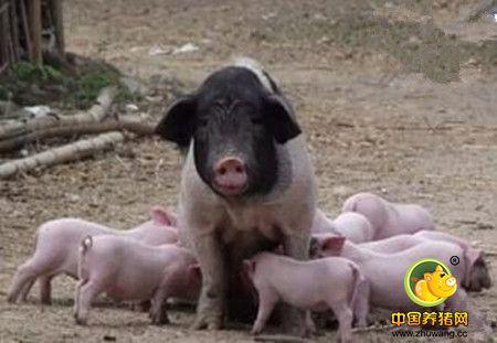 公猪在配种季节为什么一定要补充营养