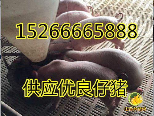 树利猪业常年出售仔猪15266665888