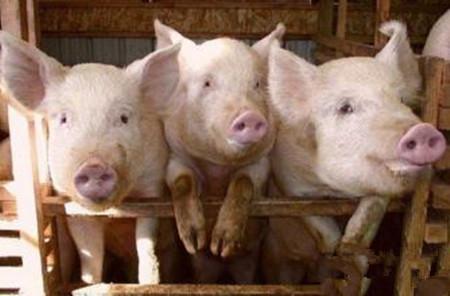 母猪不孕症的治疗方法