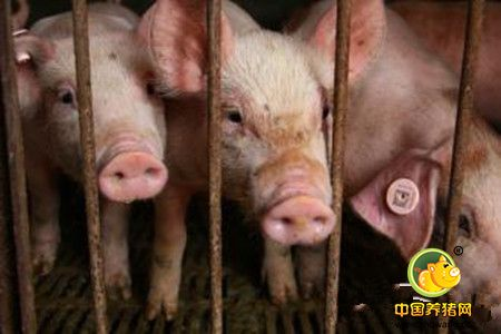 解决母猪不发情妙招