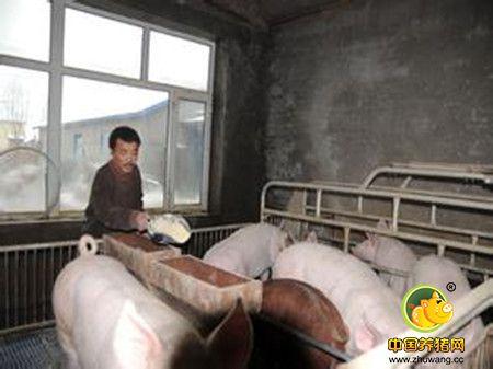 规模化猪场母猪不发情怎么处理?