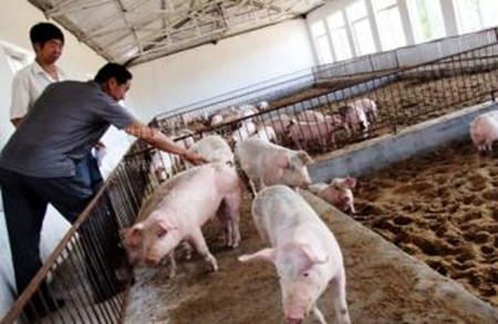 注意猪场引种误区,以免造成重大经济损失