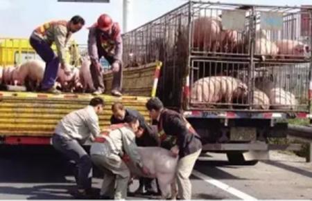 冬季长途运输生猪最科学的套路,这么干猪想生病都难!