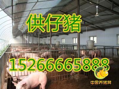 山东仔猪批发交易市场15266665888