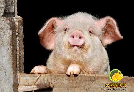 """《聚焦三农》进口猪肉是""""红颜""""还是""""祸水"""""""