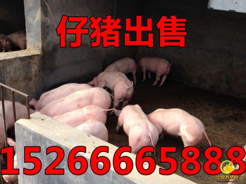 仔猪价格|山东树利仔猪交易市场