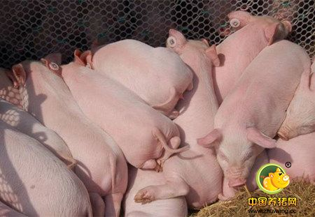 外国专家预测,2017年中国猪缺口1亿头,价格将继续强劲