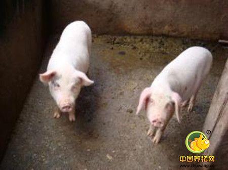 你知道吗?一头猪要浪费10%-15%的饲料!