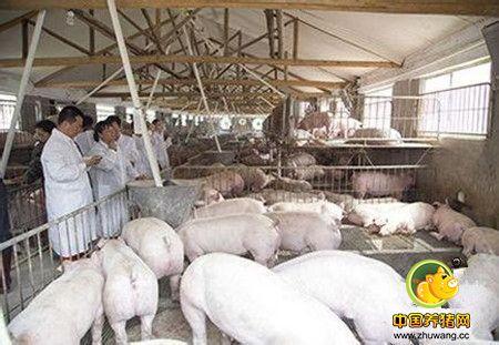 干货!数百个集约化猪场的经验汇总,赶紧收藏吧!