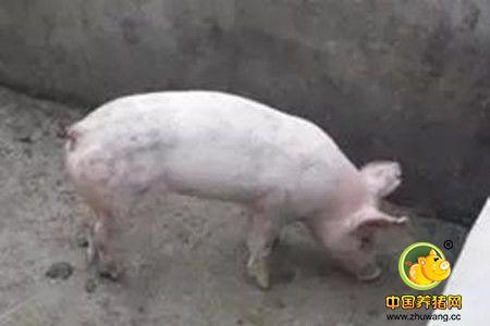 咬尾的发生错不在猪,而在管理者