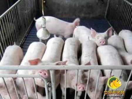 如何让小猪快速学会吃料?