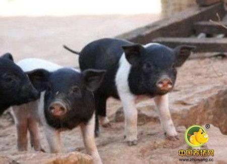 提高母猪多胎高产六种妙招