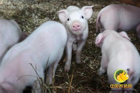 商品猪的杂交方式