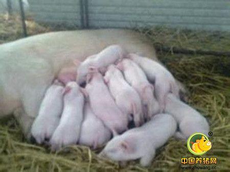 母猪产后不食的病因及防治措施