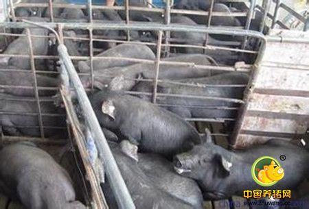 猪的杂交与杂种优势