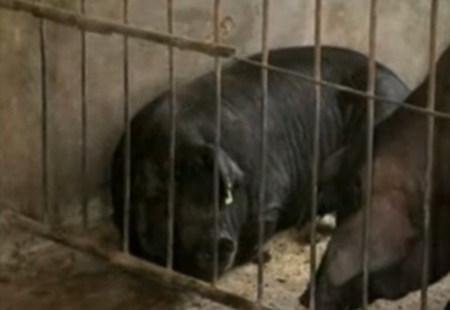 种母猪的选择、饲料配制与管理