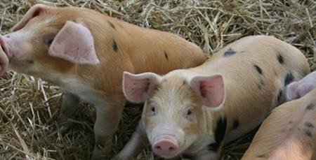 主要以发烧为主的几种猪病防治?