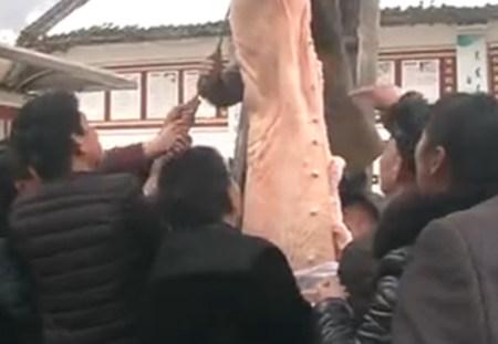 1500斤猪王送山区孩子 美女骑过的猪被宰