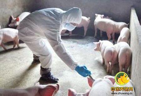 猪伪狂犬病的免疫及注意事项