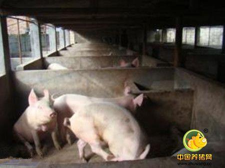 猪场选种禁忌三个误区