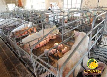 暖棚安全高效养猪三大关键