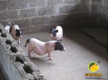 种猪免疫与保健六个问题之对策