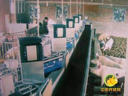自动化母猪群管理系统