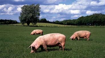 今日猪价趋稳上涨了!顶住?还想再扛几天?