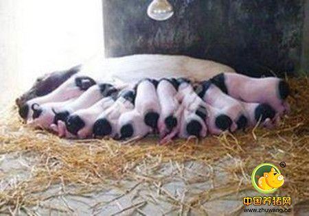 如何让母猪白天产仔