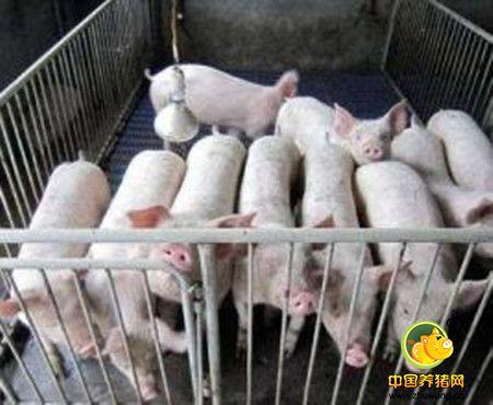 能繁母猪存栏降至3670万头,连续40个月无明显增长