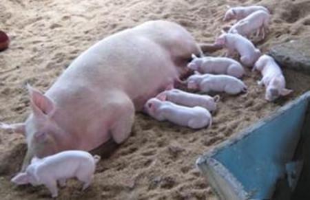 养母猪一定会遇到的七大问题