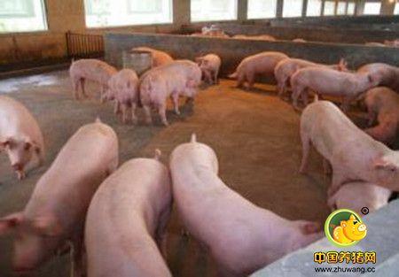 农村养猪人和猪贩子谈猪价,为什么总是完败!